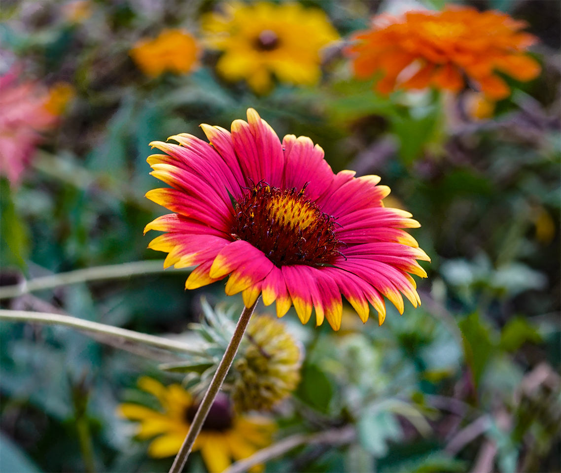 Some Native American tribes used blanketflower (Gaillardia aristata) to treat wounds and settle fevers. Sony A7r2, Micro Nikkor 55mm, 1/45 @ f4, ISO 320